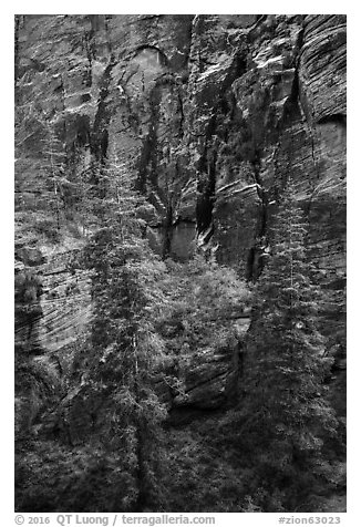 Trees and cliffs, Refrigerator Canyon. Zion National Park (black and white)