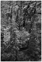 Trees and cliffs, Refrigerator Canyon. Zion National Park ( black and white)