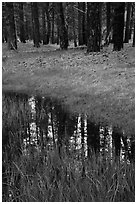 Ponderosa pine trees reflected in stream. Zion National Park ( black and white)