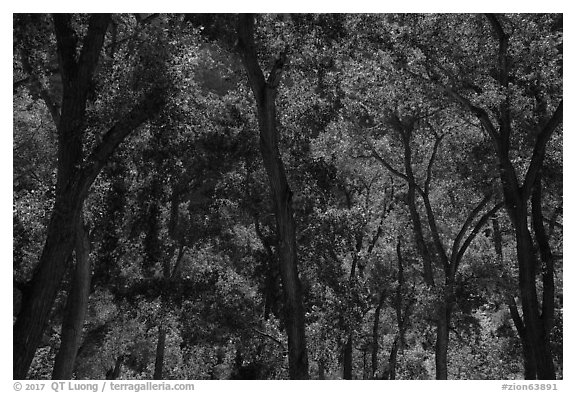 Trees in summer, the Grotto. Zion National Park (black and white)