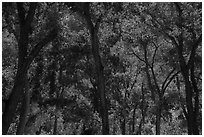 Trees in summer, the Grotto. Zion National Park ( black and white)