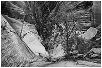 Tree and cliffs, Behunin Canyon. Zion National Park ( black and white)
