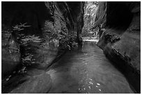 Ferns thriving in moist narrows of Behunin Canyon. Zion National Park ( black and white)