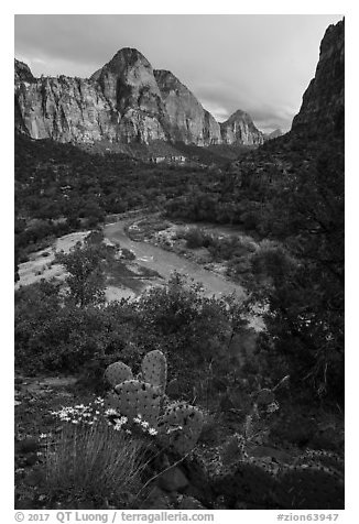 Cactus, Virgin River, and Zion Canyon. Zion National Park (black and white)