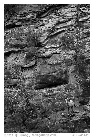 Bighorn sheep. Zion National Park (black and white)