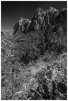 Cactus and wildflowers in bloom, Pine Creek Canyon. Zion National Park ( black and white)