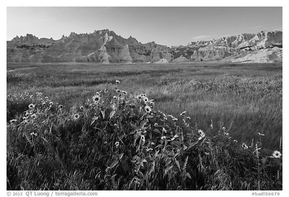 Sunflowers, meadow and badlands, late afternoon. Badlands National Park (black and white)