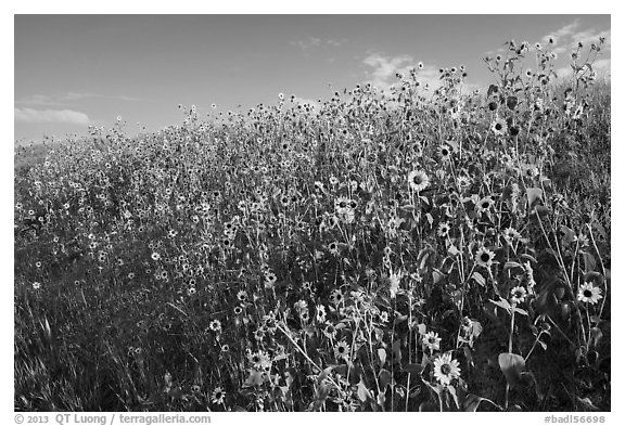Carpet of sunflowers. Badlands National Park (black and white)