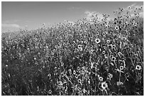Carpet of sunflowers. Badlands National Park, South Dakota, USA. (black and white)