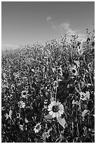 Slope covered with sunflowers. Badlands National Park, South Dakota, USA. (black and white)