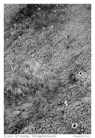 Sunflowers and cracked soil. Badlands National Park (black and white)