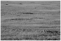 Roberts Prairie dog town. Badlands National Park ( black and white)