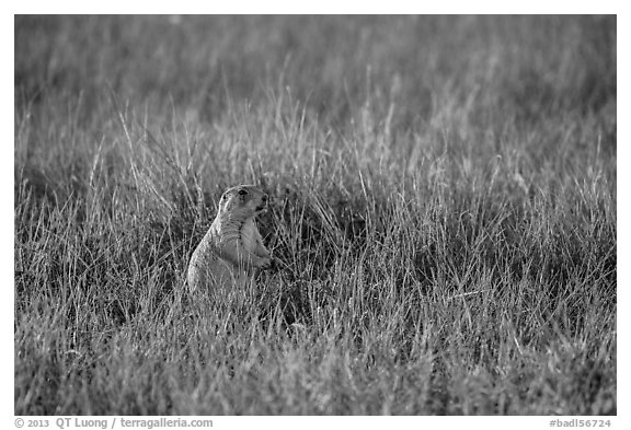 Prairie dog standing in grasses. Badlands National Park (black and white)