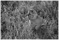 Prairie dog eating grasses. Badlands National Park ( black and white)