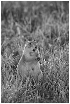 Standing prairie dog holding grass with hind paws. Badlands National Park, South Dakota, USA. (black and white)