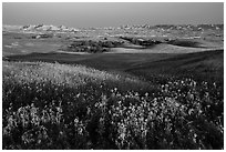 Sunflower carpet, rolling hills, and badlands, Badlands Wilderness. Badlands National Park, South Dakota, USA. (black and white)