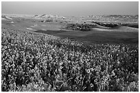 Sunflower carpet, late afternoon, Badlands Wilderness. Badlands National Park ( black and white)