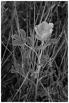 Close-up of pink flower. Badlands National Park, South Dakota, USA. (black and white)