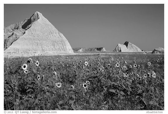 Sunflowers, grassland, and buttes. Badlands National Park (black and white)