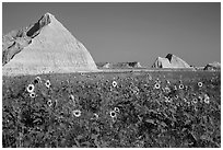 Sunflowers, grassland, and buttes. Badlands National Park, South Dakota, USA. (black and white)