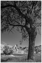 Cottonwood and badlands. Badlands National Park, South Dakota, USA. (black and white)