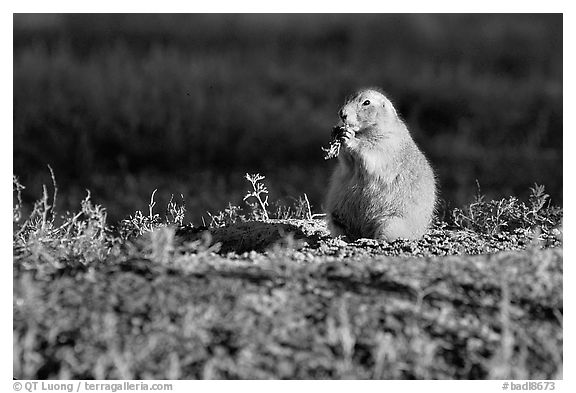 Prairie dog standing, sunset. Badlands National Park (black and white)