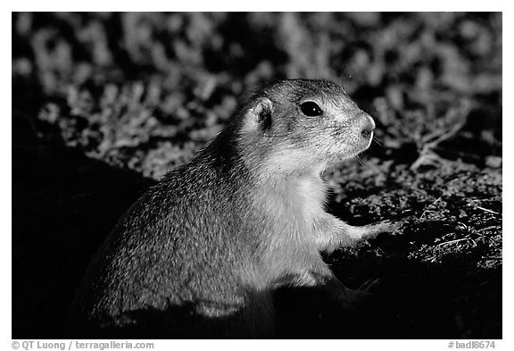 Prairie dog watching out from burrow, sunset. Badlands National Park (black and white)
