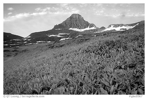 Wildflowers and peak at Logan pass. Glacier National Park (black and white)