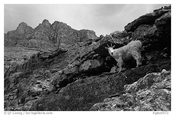 Mountain goat and Garden wall near Logan pass. Glacier National Park (black and white)