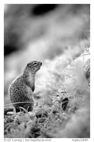 Ground squirrel. Glacier National Park (black and white)