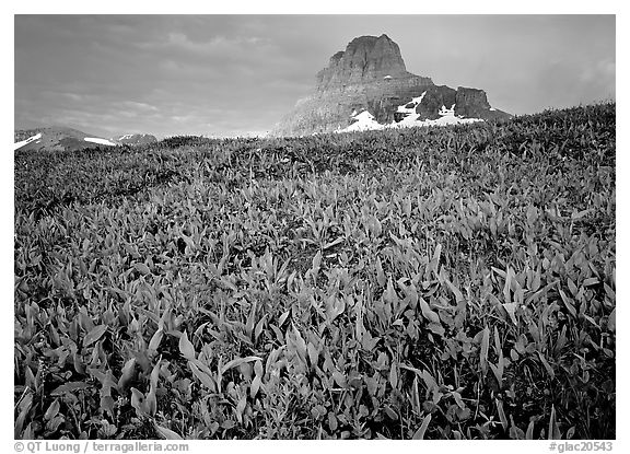Alpine meadow, wildflowers, and Clemens Mountain. Glacier National Park (black and white)