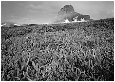 Alpine meadow, wildflowers, and Clemens Mountain. Glacier National Park, Montana, USA. (black and white)