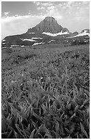 Indian paintbrush and peak, Logan pass. Glacier National Park, Montana, USA. (black and white)