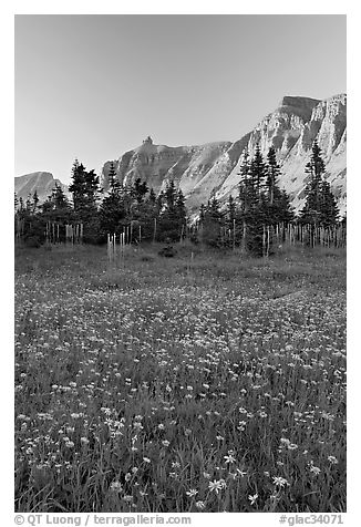 Wildflowers in meadow below the Garden Wall at sunset. Glacier National Park (black and white)