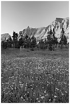 Wildflowers in meadow below the Garden Wall at sunset. Glacier National Park, Montana, USA. (black and white)
