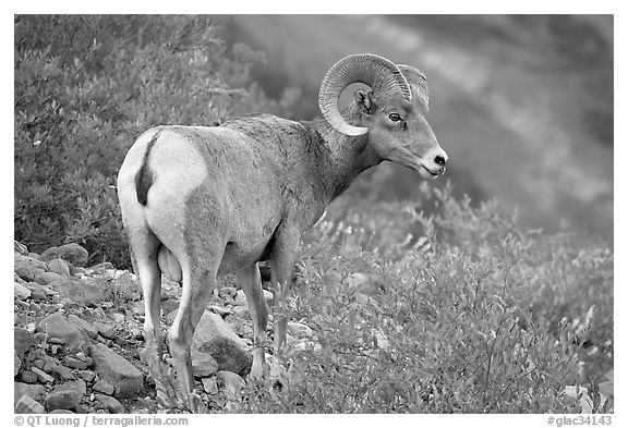 Bighorn sheep. Glacier National Park (black and white)