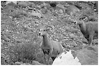 Two bighorn sheep. Glacier National Park, Montana, USA. (black and white)