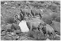 Group of bighorn sheep. Glacier National Park, Montana, USA. (black and white)