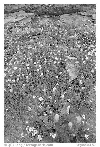 Wildflowers. Glacier National Park (black and white)