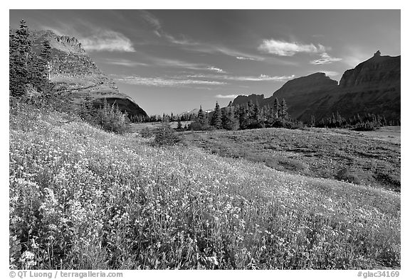 Alpine meadow with wildflowers, Logan Pass, morning. Glacier National Park (black and white)
