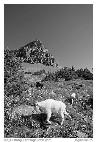Mountain goat and cub in a meadown below Clemens Mountain, Logan Pass. Glacier National Park (black and white)