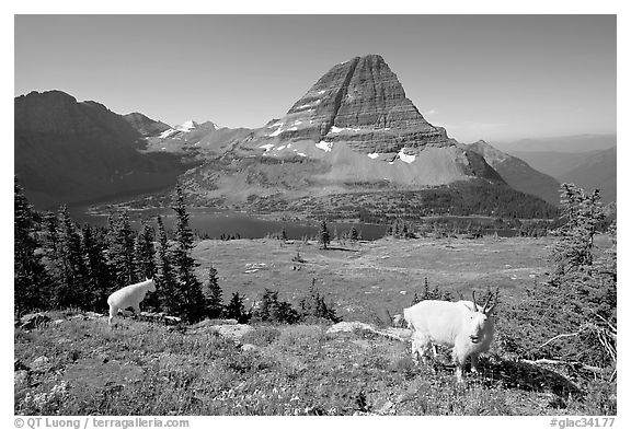Mountain goats, Hidden Lake, Bearhat Mountain. Glacier National Park (black and white)