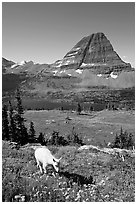 Young mountain goat, with Hidden Lake and Bearhat Mountain in the background. Glacier National Park ( black and white)