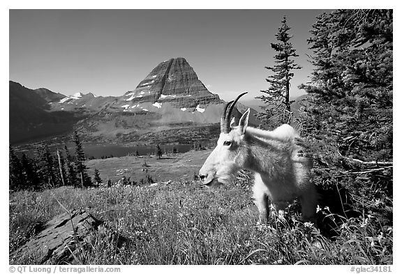 Mountain goat, Hidden Lake and Bearhat Mountain behind. Glacier National Park (black and white)