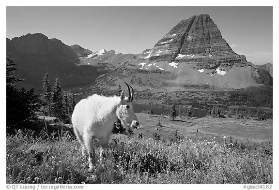 Mountain goat, Hidden Lake and Bearhat Mountain. Glacier National Park (black and white)