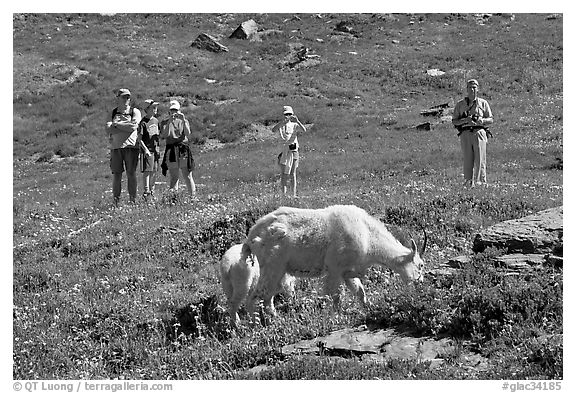 Hikers watching mountains goats near Logan Pass. Glacier National Park (black and white)