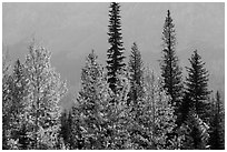 Trees in autumn foliage and firs. Glacier National Park ( black and white)
