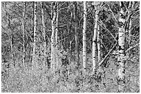 Forest in autumn, Saint Mary. Glacier National Park ( black and white)