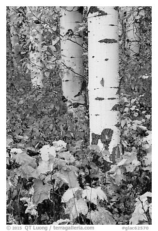 Shurbs and trunks in autumn. Glacier National Park (black and white)