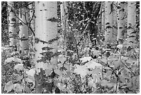 Undergrowth and aspen in autum. Glacier National Park ( black and white)